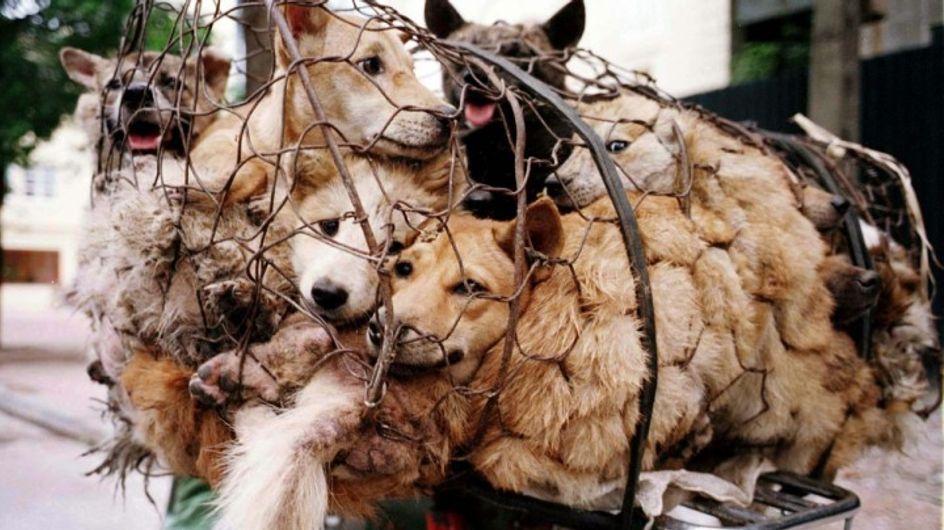 #StopYuLin2015: mobilização pelo fim do massacre de gatos e cachorros na China