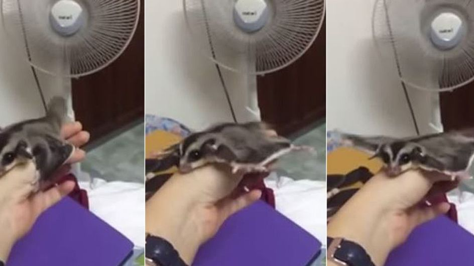 Unglaublich putzig: Dieses kleine Tierchen übt mit einem Ventilator fliegen
