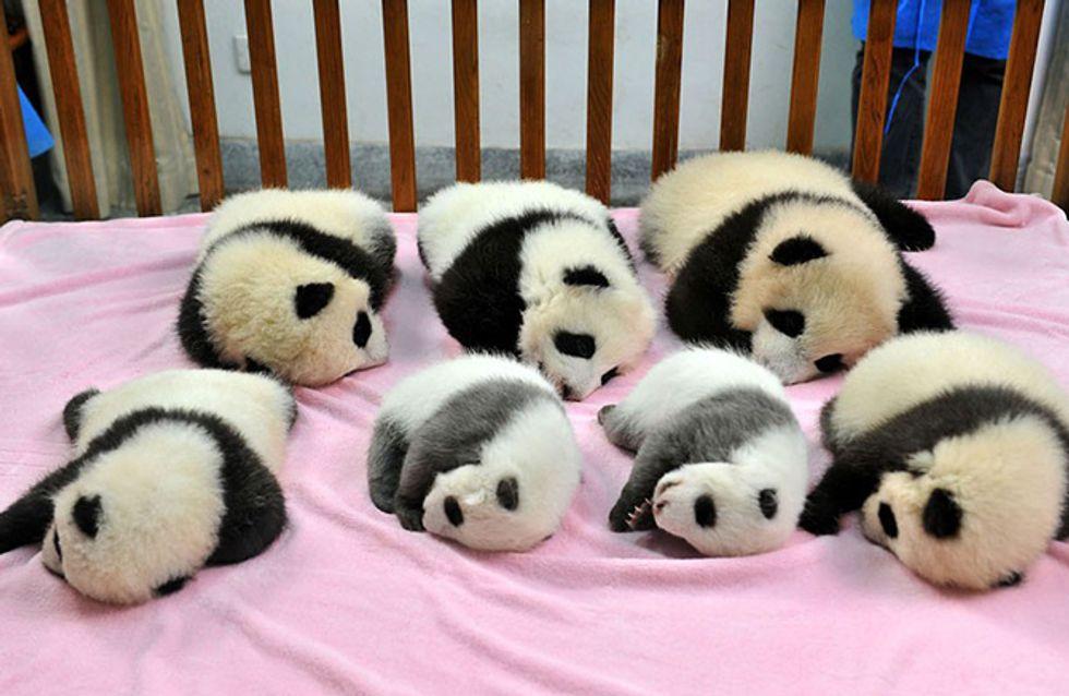 Sim, existe uma creche para pandas e é o lugar mais fofo do planeta!