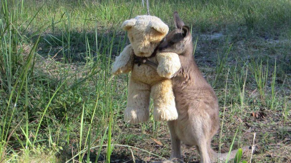 Own! Canguru órfão 'adota' urso de pelúcia como melhor amigo