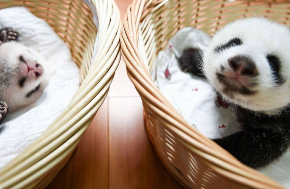 Fofura do dia: pandas bebês são apresentados para o público na China