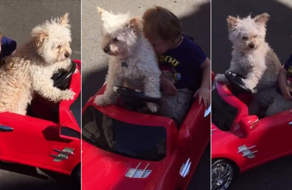 Achtung, Hund am Steuer: Dieser kleine Junge wird tatsächlich von einem Vierbeiner gefahren