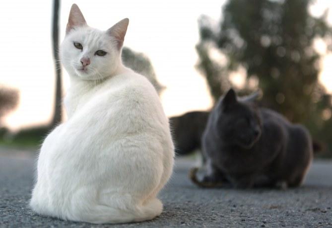 L'Australie veut éliminer 2 millions de chats en 5 ans