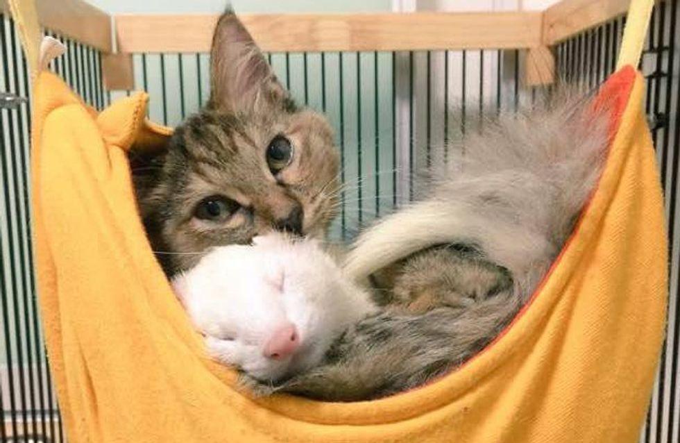 On vous présente Komari, le chaton qui se prend pour un furet (photos)