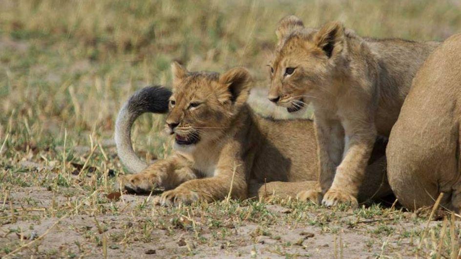 Découvrez les petits-fils de Cecil le Lion (Photo)
