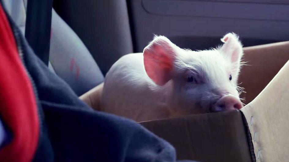 Plötzlich läuft ihm ein kleines Schwein vors Auto - was dann passiert, ist wirklich ergreifend