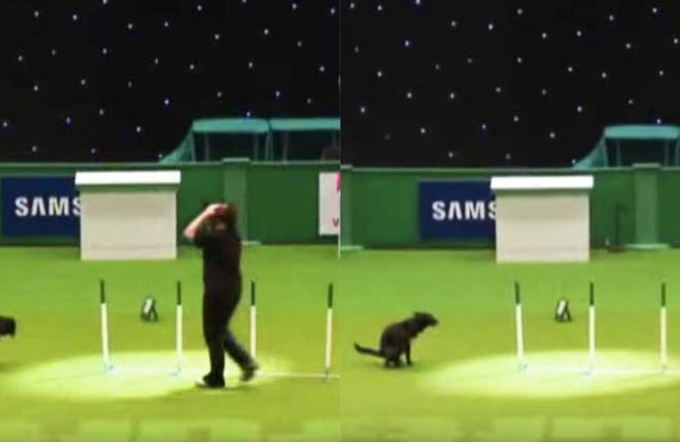 Dog Answers Call Of Nature During Crufts Competition, Ruins Owner's Dream Of Winning Top Prize