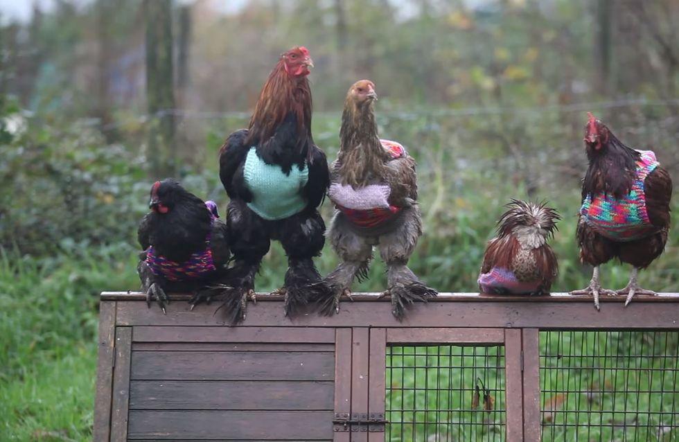 Ja, diese Hühner tragen Pullunder. Und ja, das ist notwendig.