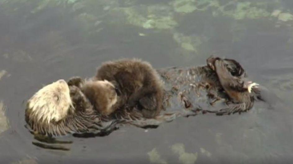Dieses Otter-Baby und seine Mama verzücken momentan das ganze Netz