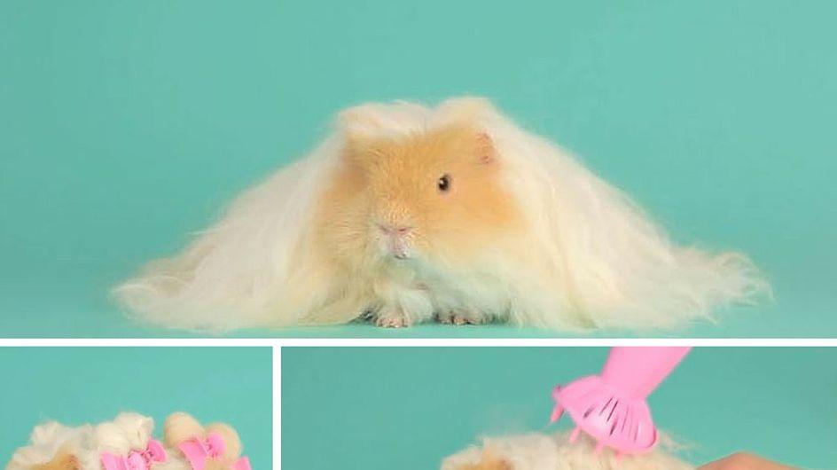 L'imbarazzante momento in cui un adorabile roditore ha capelli più belli dei tuoi (video)