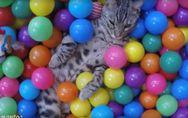 Diese Katze wird mit einem Bällebad überrascht - und tobt sich mal so richtig au