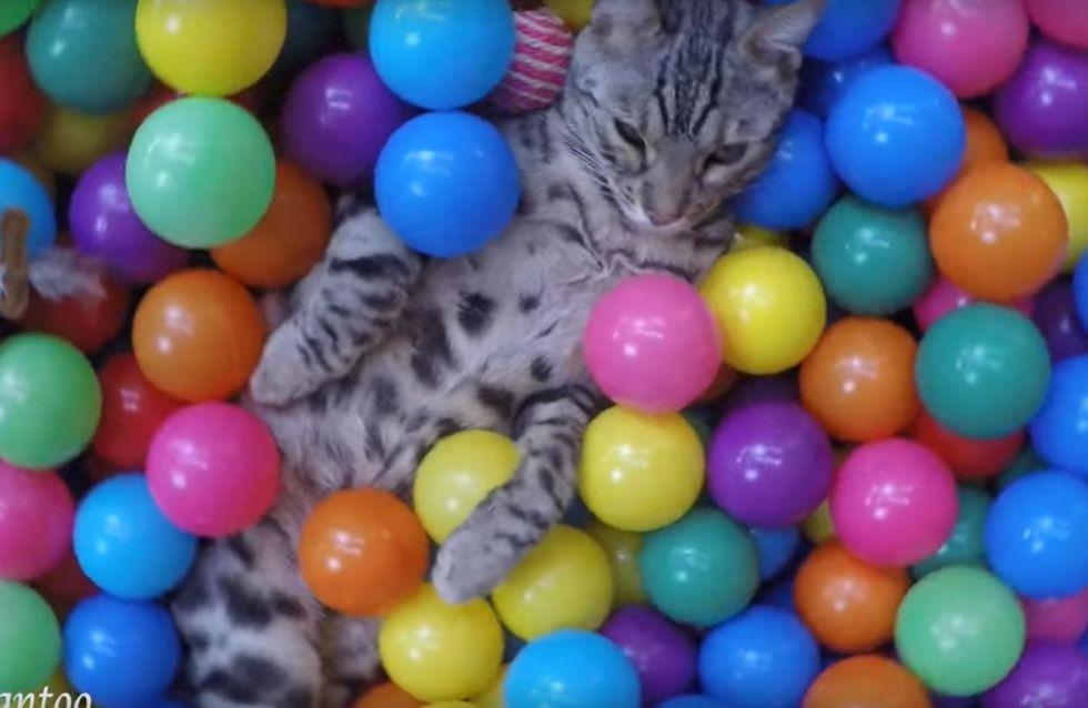 Diese Katze wird mit einem Bällebad überrascht - und tobt sich mal so richtig aus!