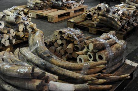 De l'ivoire saisi en Chine