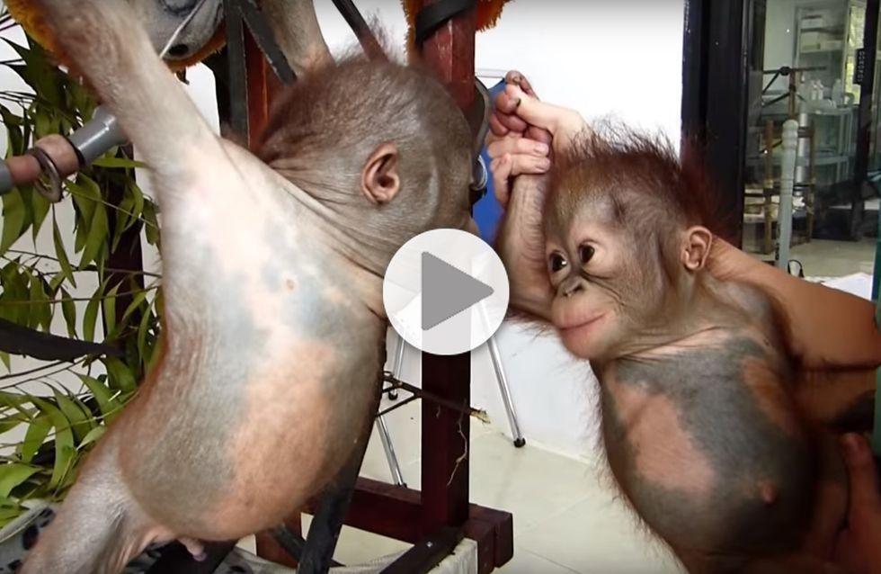 Quand deux bébés singes orphelins se voient pour la première fois.... (Vidéo)