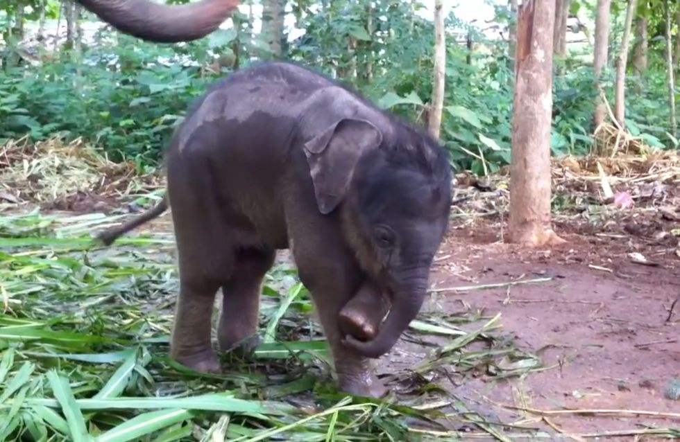 """""""Qu'est-ce que c'est que ça ?"""" : Quand un bébé éléphant découvre qu'il a une trompe (Vidéo)"""