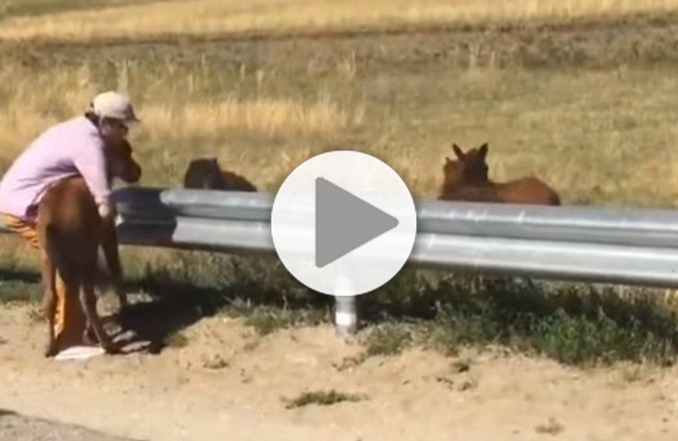Ce poulain coincé sur l'autoroute est sauvé par un courageux automobiliste