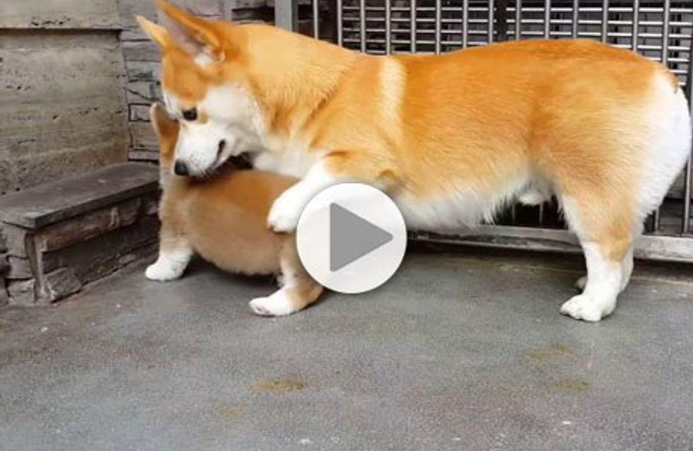 Quand un chien adulte décide de donner un cours de savoir-vivre à un jeune chiot