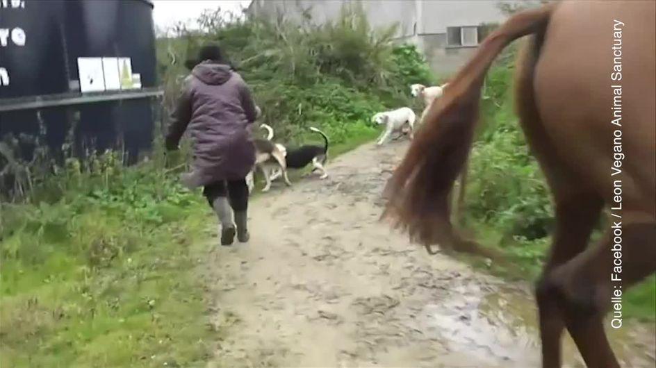 La volpe salvata durante la caccia