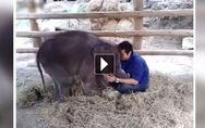 On ne résiste pas à ce bébé éléphant qui fait un câlin à son soigneur (Vidéo)