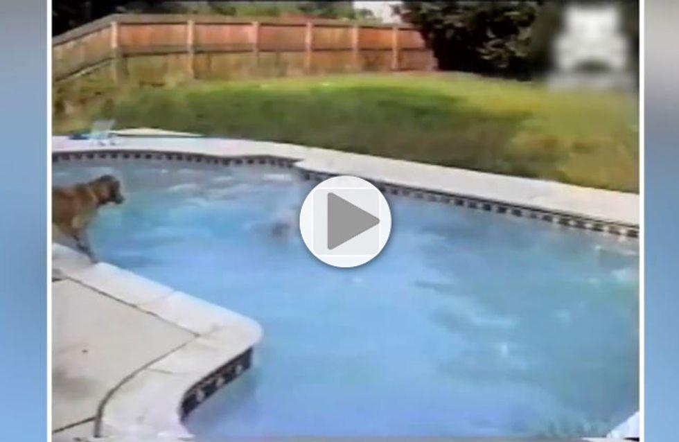 Une chienne sauve son petit de la noyade en se jetant à l'eau (Vidéo)