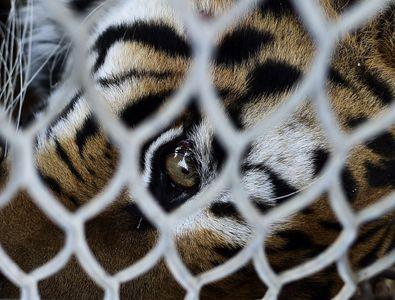 Un tigre en cage
