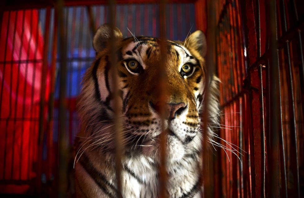 La France va-t-elle bientôt interdire les cirques avec animaux ?