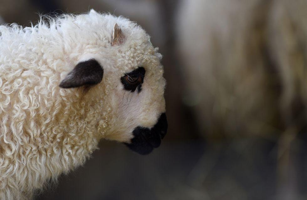 Maltraitance animale : Deux nouveaux abattoirs dénoncés dans une vidéo choc