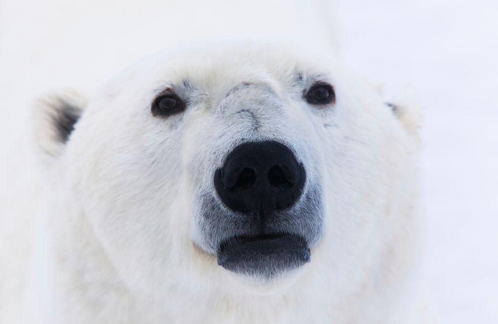 Arturo, l'orso polare più triste del mondo, è morto nello zoo di Mendoza, Argentina