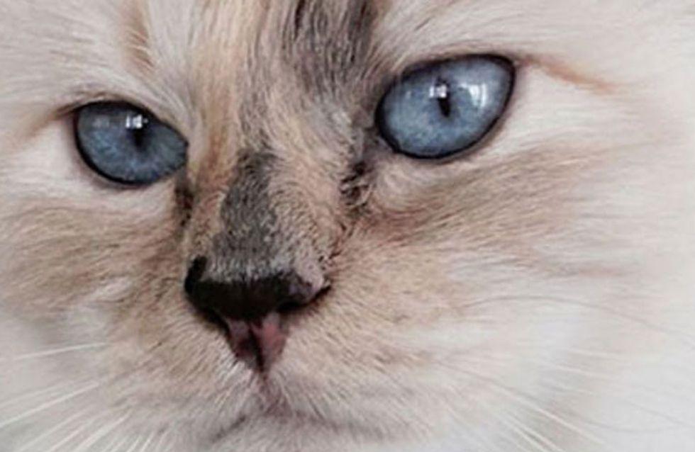 Choupette Lagerfeld, la gata que vive entre aviones privados y champán
