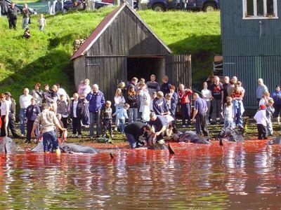 Des habitants des Iles Féroé avec les dauphins qu'ils ont tués