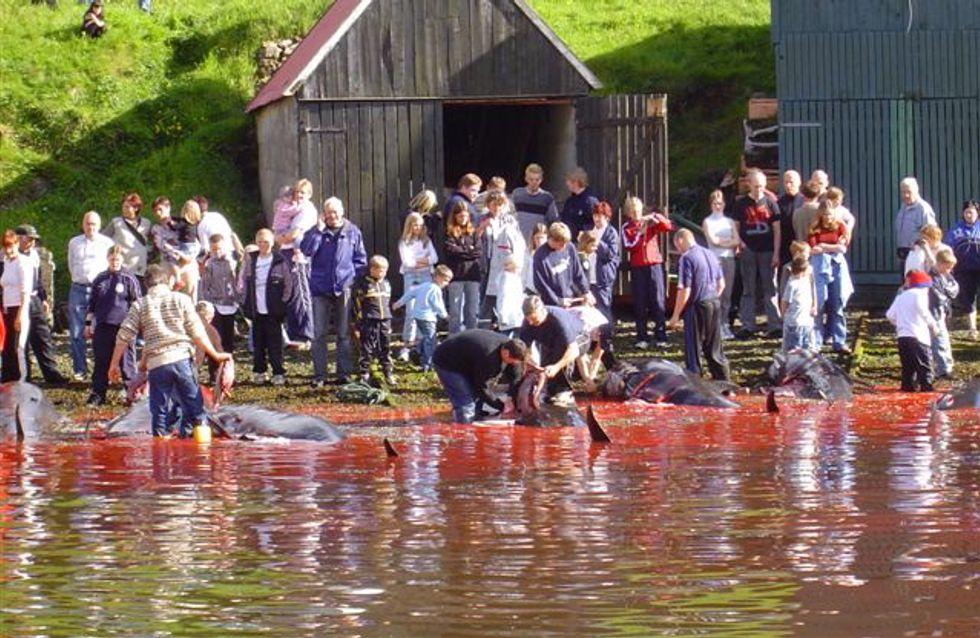 La Toile se mobilise pour stopper le massacre des dauphins dans les Iles Féroé