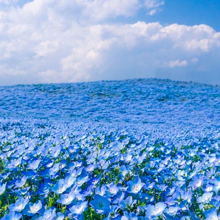 Parque Hitachi Seaside Flores Coloridas Formam Belas Paisagens