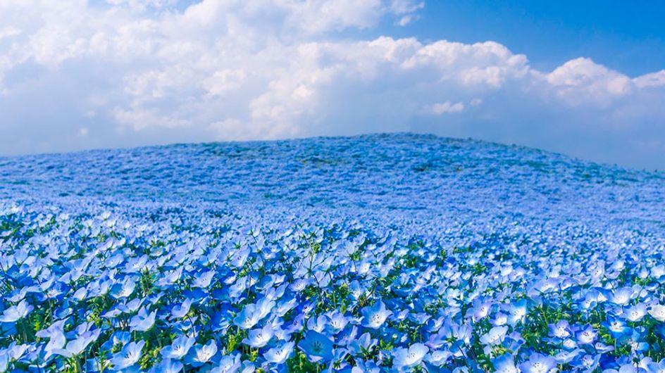 Parque Hitachi Seaside: flores coloridas formam belas paisagens no Japão
