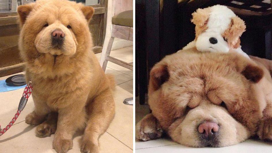 Achtung, das ist kein Teddybär, sondern der wohl süßeste Hund der Welt!