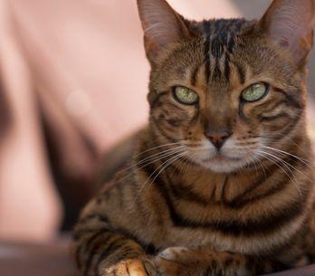 Te presentamos a Thor, probablemente el gato más bonito del mundo
