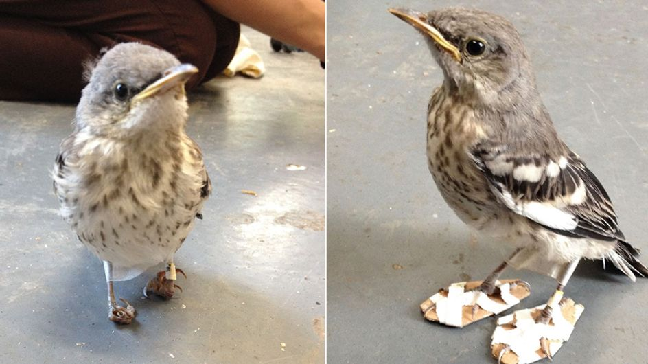 Dieser putzige Vogel kommt dank winziger Schuhe wieder auf die Beine
