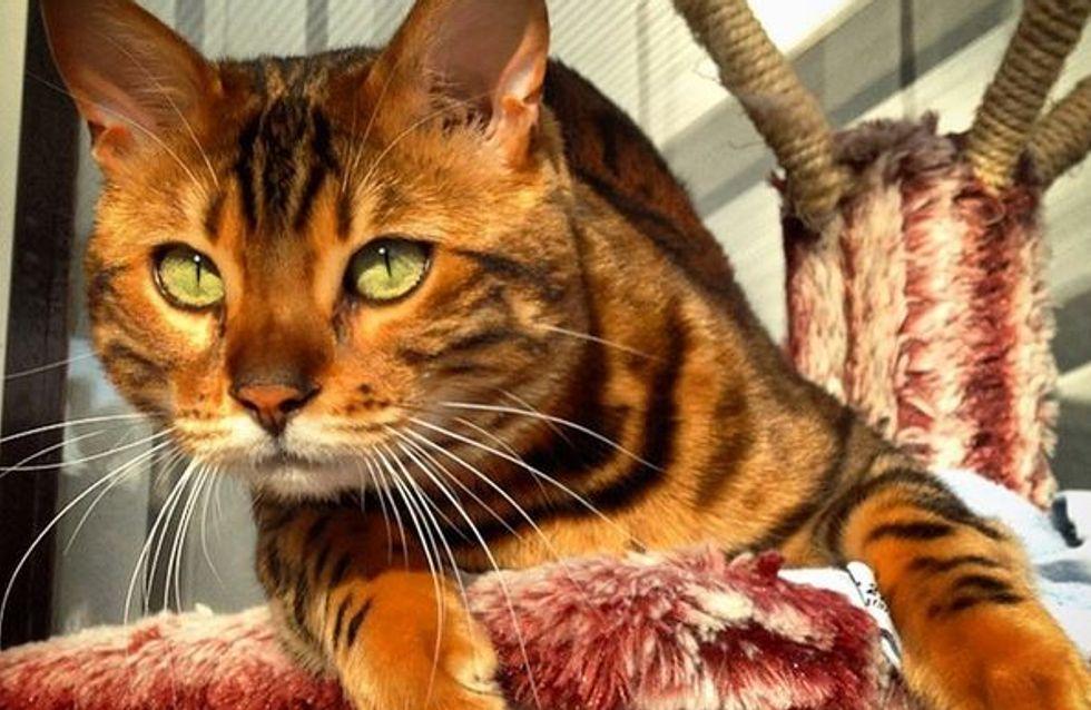 Conheça Thor, provavelmente o gato mais bonito do mundo