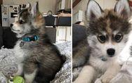 Das ist Norman der Pomsky - der wahrscheinlich niedlichste Hund der Welt