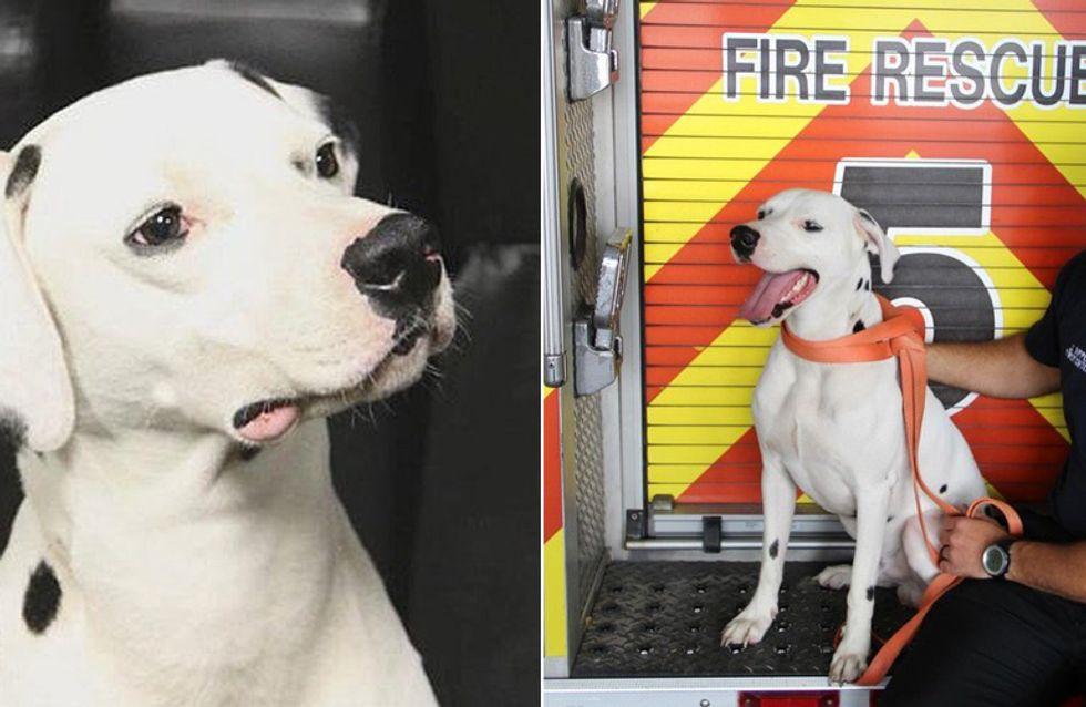 Dieser entlaufene Dalmatiner wartete nicht auf Rettung, sondern lief einfach selbst zur Feuerwehr