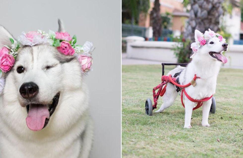 Husky Maya wird ohne Pfoten geboren - doch ein Rollstuhl schenkt ihr neues Lebensglück