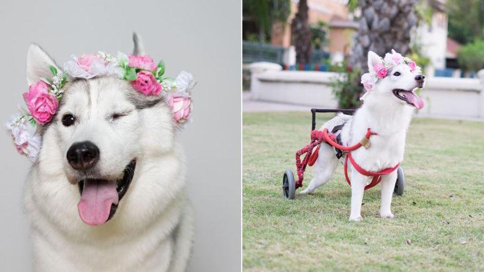 ¡Esta perrita en silla de ruedas es el ejemplo de superación más tierno que verás!