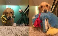 So putzig! Therapiehund Mojito geht nicht ohne seine geliebten Kuscheltiere schl