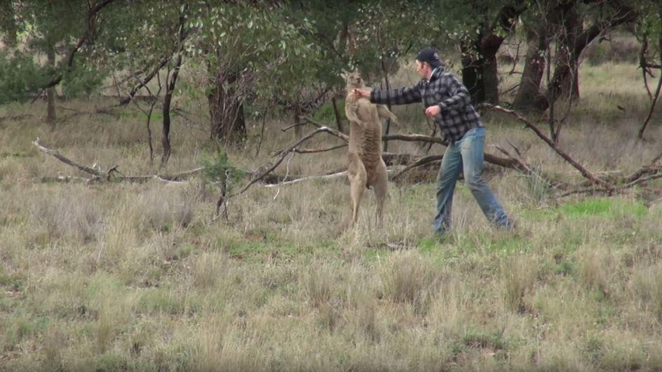 Tierpfleger boxt Känguru: Verliert er jetzt seinen Job?