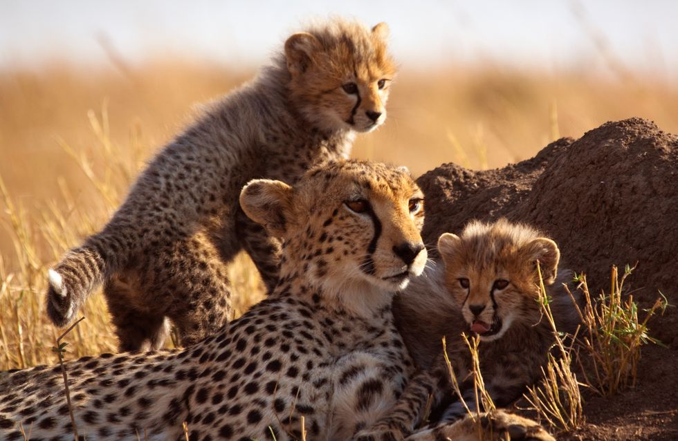 Les Emirats arabes unis interdisent la possession d'animaux sauvages, il était temps ! (Photos et vidéo)