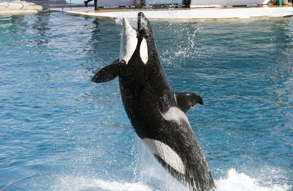 Les spectacles d'orques au Sea World de San Diego, c'est fini ! (Photos)