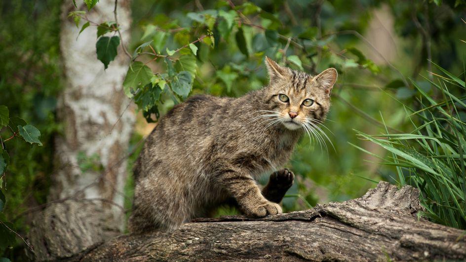 Mais pourquoi l'Australie va bientôt exterminer 2 millions de chats ?