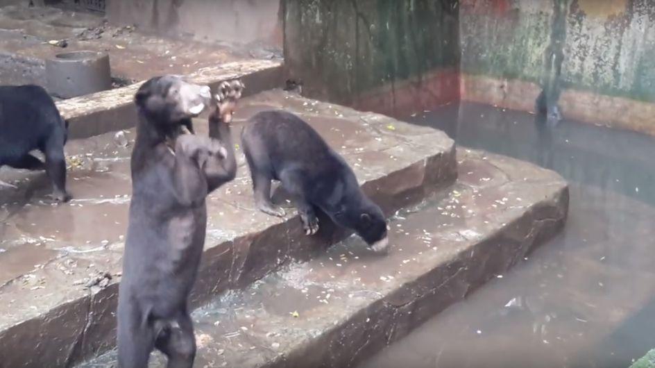 La Toile s'indigne face à ces ours affamés et squelettiques en Indonésie (Vidéos)