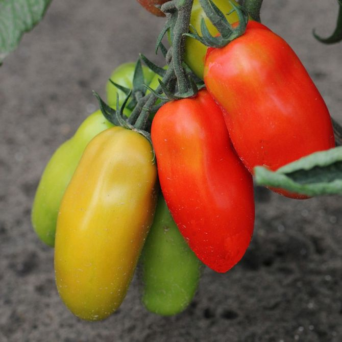 Planter des tomates : tomate cornue