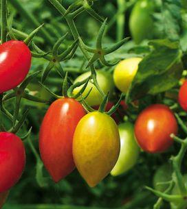 C'est le printemps ! Comment planter des tomates et les entretenir ?