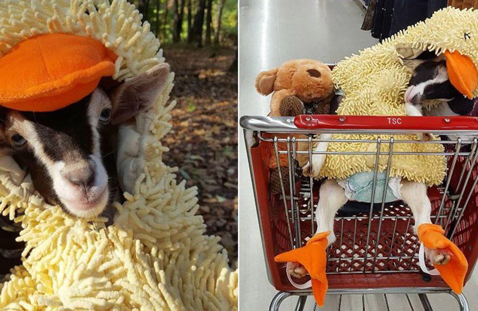 Eine Ziege im Enten-Kostüm? Die kleine Polly ist dank ihres besonderen Outfits wieder glücklich